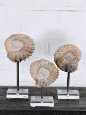 Ammonite Fossil on Acrylic Base