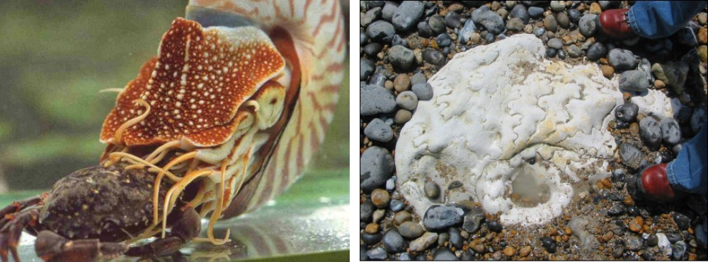 Live nautilus and an ammonite fossil
